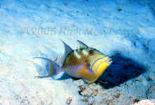 queen triggerfish intermediate phase