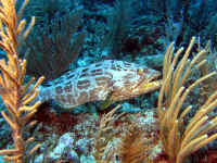 Belize - Black Grouper