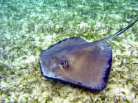 Belize - Southern Stingray