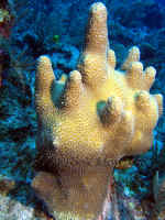 Belize - Pillar Coral