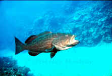 Belize - Yellowmouth Grouper