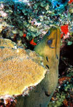 Green Moray at a cleaning station