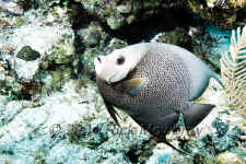Belize - Gray Angelfish