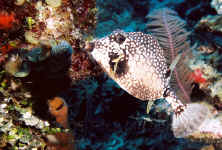 BLZ_smooth trunkfish3.jpg (320724 bytes)