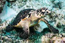 Belize - Green Sea Turtle