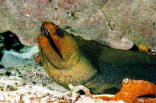 COZ_GreenMoray3-9.jpg (400510 bytes)