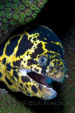 underwater photography of Curacao chain moray
