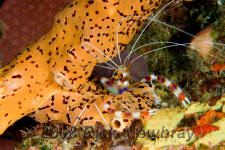 underwater photography of Curacao coral banded shrimp
