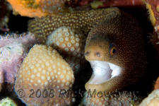 underwater photography of Curacao goldentail eel