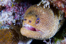 underwater photography of Curacao goldentail moray