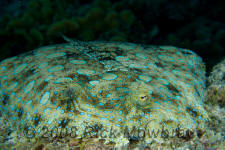 underwater photography of Curacao flounder
