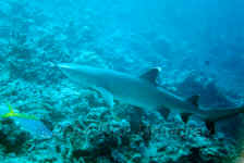 Fiji - White Tip Reef Shark