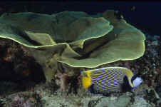 Pal_emperor_angelfish.jpg (326587 bytes)
