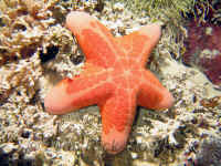 Pal_granulated_seastar.jpg (490218 bytes)