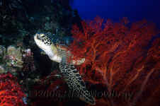Pal_sea_turtle_red_seafan.jpg (349462 bytes)