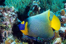Pal_yellow-mask_angelfish.jpg (415901 bytes)