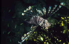 Yap_common_lionfish.jpg (256194 bytes)